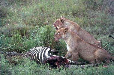 Ngorongoro_lions_zebra